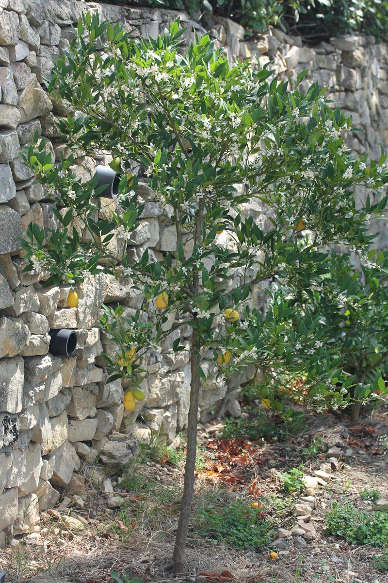 limequat_4