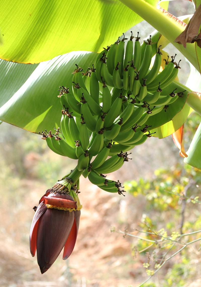 carsten_banana