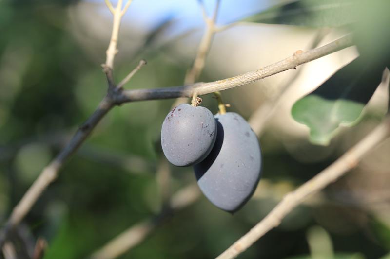 olive_2015_2