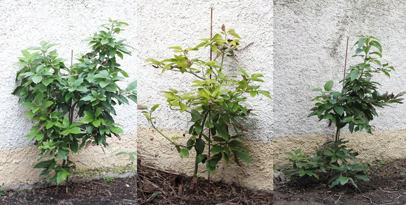 Les avocatiers de mon jardin acclimatons for Derriere les murs de mon jardin