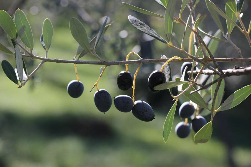 2016_olive2