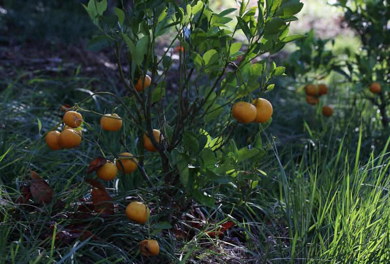 automne-calamondin