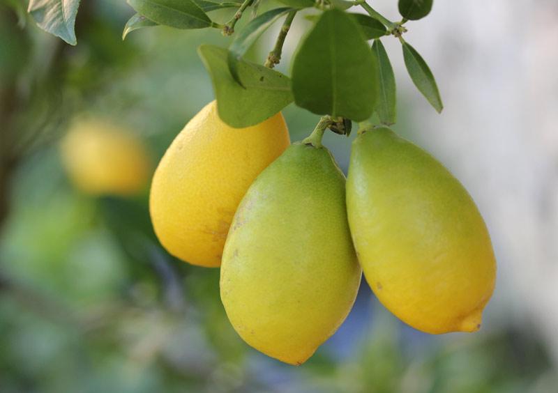 automne-citron