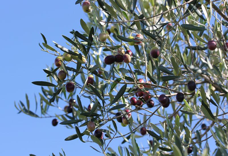 automne_olive