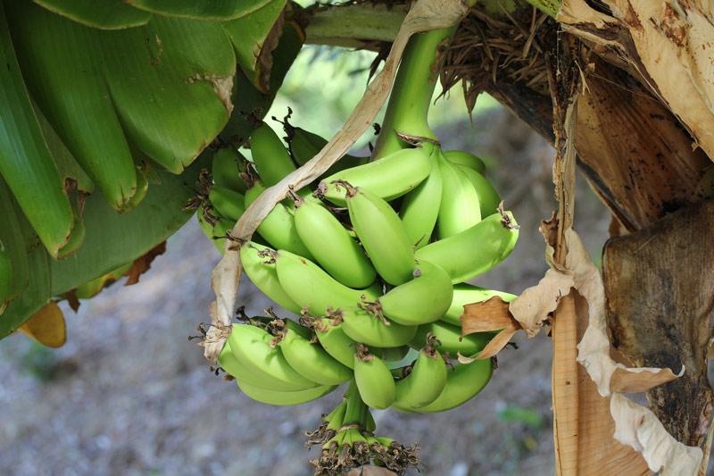 malaga_banane_1