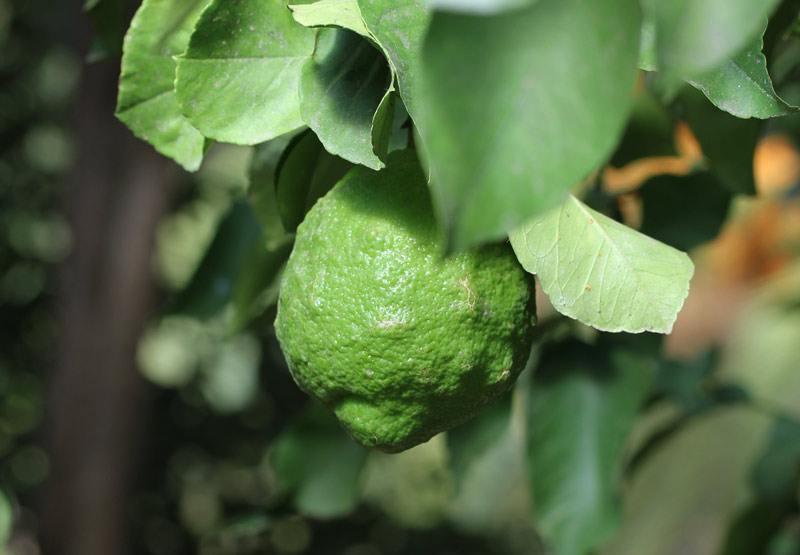 malaga_citrus_1
